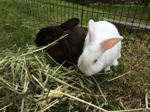 Tulip & Scotty, my rabbits, eat leftover tarragon